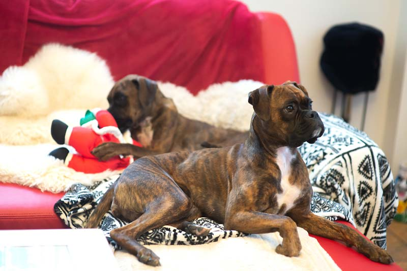 Two guard dogs Boxers on sofa