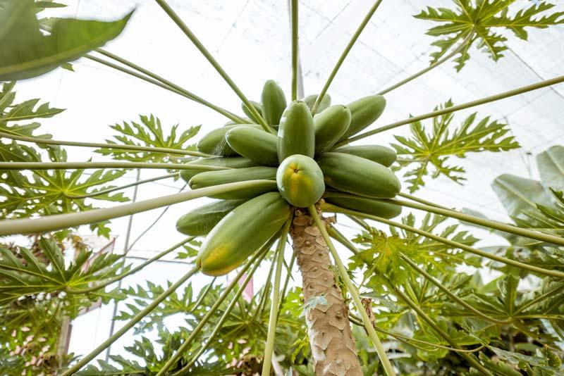 Unripe papaya growing on tree