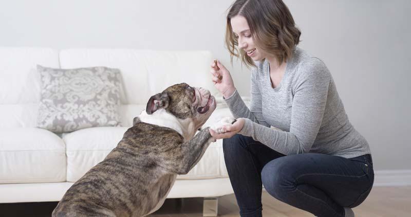 Bulldog wanting a carrot treat